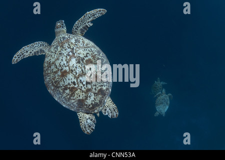 Green Turtle (Chelonia mydas) adult, swimming, with two other turtles swimming below, Sipadan Island, Sabah, Borneo, - Stock Photo