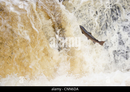 Atlantic Salmon Salmo salar adult leaping up cascade travelling upstream spawning ground Stainforth Force River - Stock Photo