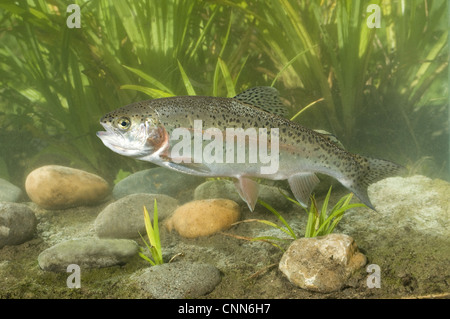 Rainbow Trout (Oncorhynchus mykiss) introduced species, adult, swimming, Sussex, England - Stock Photo