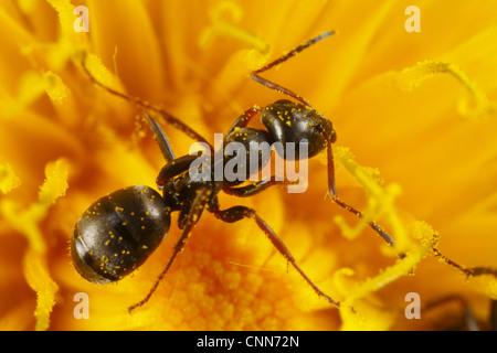 Black Garden Ant (Lasius niger) adult worker, feeding on Dandelion (Taraxacum sp.) flower, Powys, Wales, april - Stock Photo