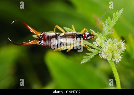 Common Earwig (Forficula auricularia) adult male, feeding on nectar, Italy, june - Stock Photo
