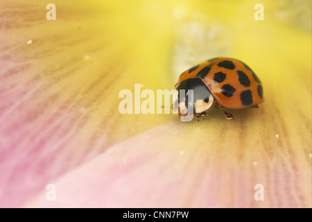 Harlequin Ladybird Harmonia axyridis introduced species adult resting inside Hollyhock Alcea sp. flower Suffolk - Stock Photo