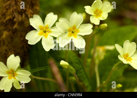 Wild Primrose, Primula vulgaris, growing in deciduous woodland in South Wales, April. - Stock Photo