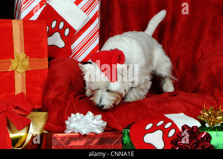 Curious Pup - Miss Molly Holiday Portrait - Stock Photo