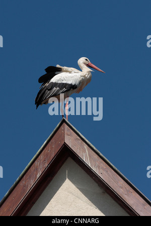 Adult European white stork ciconia ciconia Hunawihr Alsace France - Stock Photo