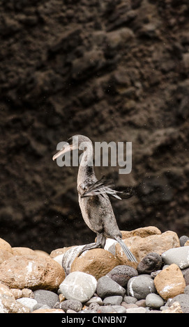 Flightless Cormorant (Phalacrocorax harrisi) Galapagos Islands Ecuador - Stock Photo