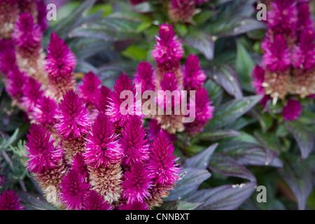 Celosia caracas  Flowers - Stock Photo