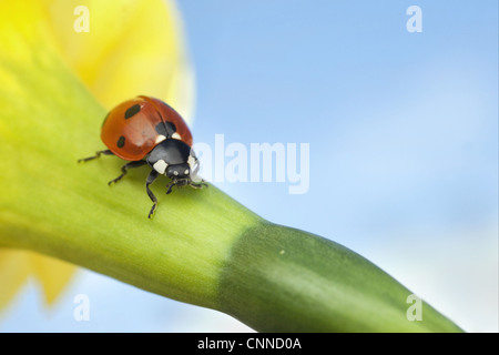 Seven-spot Ladybird Coccinella septempunctata adult resting Daffodil Narcissus sp. flowerhead sunny day Leicestershire - Stock Photo