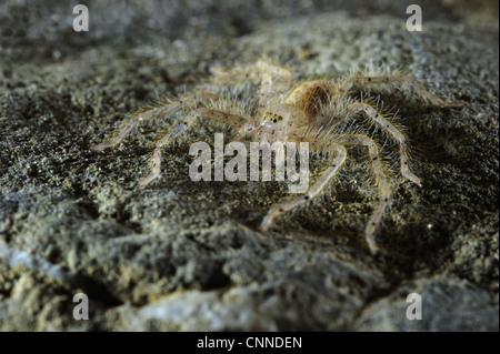 David Bowie's Huntsman Spider (Heteropoda davidbowie) species name dedicated to famous singer, adult, standing on - Stock Photo