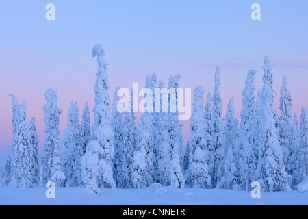 Snow Covered Spruce Trees at Dusk, Nissi, Northern Ostrobothnia, Finland - Stock Photo
