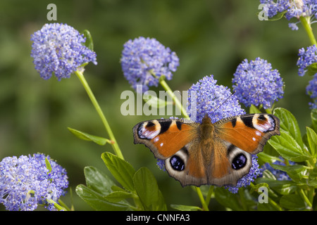 Peacock Butterfly (Inachis io) adult, feeding on California Lilac (Ceanothus arboreus) flowers in garden, England, - Stock Photo