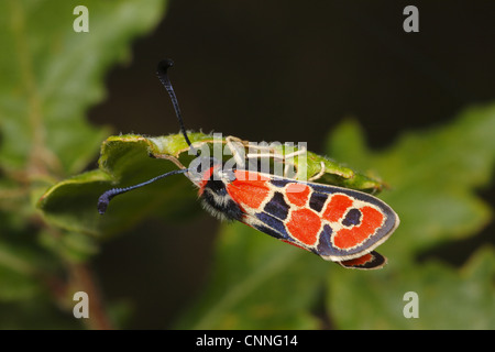 Auspicious Burnet Moth (Zygaena fausta) adult, resting under leaf, Pyrenees, Ariege, France, may - Stock Photo