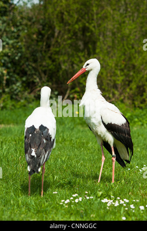 White Stork (lat. Ciconia ciconia) on a green meadow in spring - Stock Photo