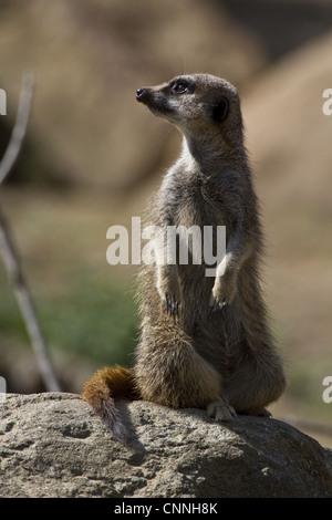 The meerkat suricate Suricata suricatta small mammal belonging mongoose family Meerkats live all parts Kalahari - Stock Photo