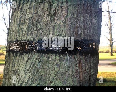 Mottled Umber (Erannis defoliaria) adults, trapped in sticky band on tree trunk - Stock Photo