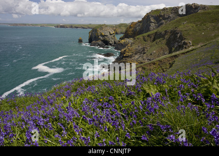 Bluebell Endymion non-scriptus flowering mass growing in clifftop habitat near Mullion Cove Lizard Cornwall England - Stock Photo