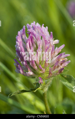 Red Clover (Trifolium pratense) close-up of flowerhead, covered with dew, Crossness Nature Reserve, Bexley, Kent, - Stock Photo