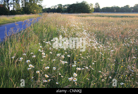 Ox-eye Daisy Leucanthemum vulgare flowering mass growing amongst long grass mixed wildflowers beside road commonland - Stock Photo