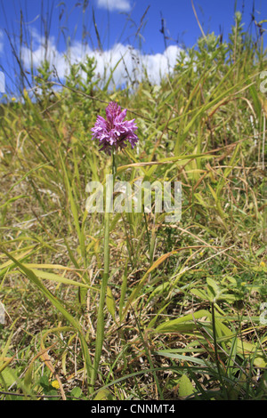 Pyramidal Orchid Anacamptis pyramidalis flowering growing in gulley slumped sea cliff Whitecliff Bay Isle Wight - Stock Photo