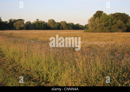 View pasture long grass Ox-eye Daisy Leucanthemum vulgare flowering commonland reserve habitat dawn Mellis Common - Stock Photo