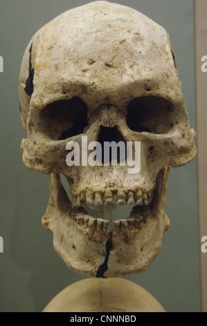 Egyptian skull. British Museum. London. United Kingdom. - Stock Photo