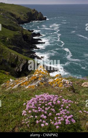Thrift (Armeria maritima) flowering, growing in clifftop habitat, near Mullion Cove, The Lizard, Cornwall, England, - Stock Photo