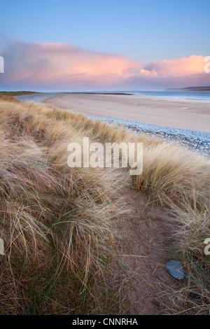 Marram Grass Ammophila arenaria windblown on coastal sand dune habitat at sunrise Northam Burrows North Devon England - Stock Photo