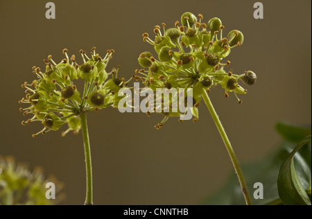 Common Ivy (Hedera helix) close-up of flowers, England, october - Stock Photo