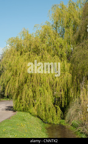 Weeping willow tree (Salix babylonica) on grassy bank and stream - Stock Photo