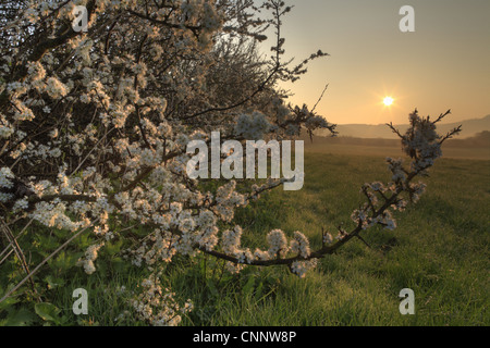 Blackthorn (Prunus spinosa) flowering, growing in hedgerow on organic farm at sunset, Powys, Wales, april - Stock Photo