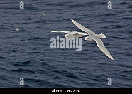 Two Snow Petrels (Pagodroma nivea) flying together above the Southern Ocean between South America and Falkland Islands - Stock Photo