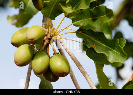 africa Burkina Faso , village Sesuala near Pó , Shea nuts at Shea tree , shea butter - Stock Photo