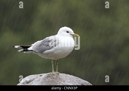 Common Gull, Larus canus, in rain - Stock Photo