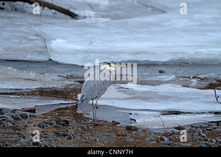 Grey Heron, Ardea cinerea, adult - Stock Photo