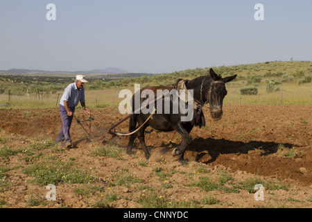 Farmer with mule pulling plough, ploughing field in steppe, Extremadura, Spain, april - Stock Photo