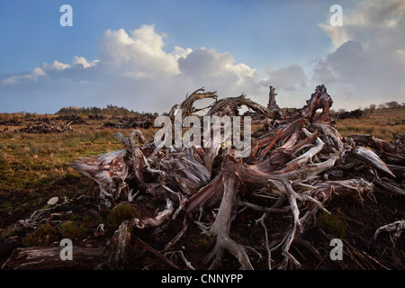 Ancient Bog Wood in County Mayo on the west coast of Ireland. - Stock Photo