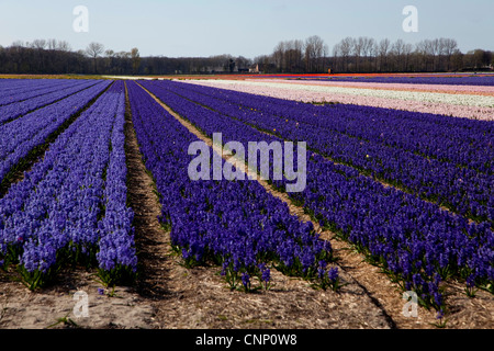 Fields of tulips and flowers blossoming in spring near Lisse, Holland, The Netherlands, Europe - Stock Photo