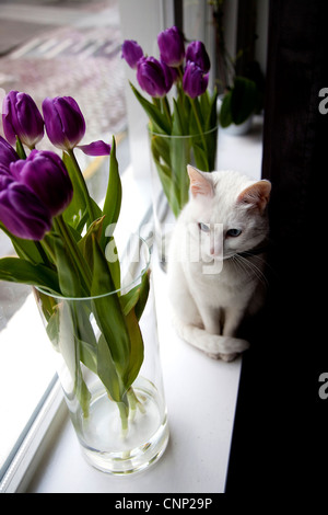 White cat and tulips near window at home - Stock Photo