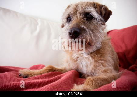 A dog sitting on a sofa, happy dog, brown dog, house dog, dog inside the home, - Stock Photo