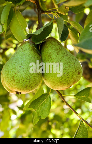 Fresh organic pears growing on a branch - Stock Photo