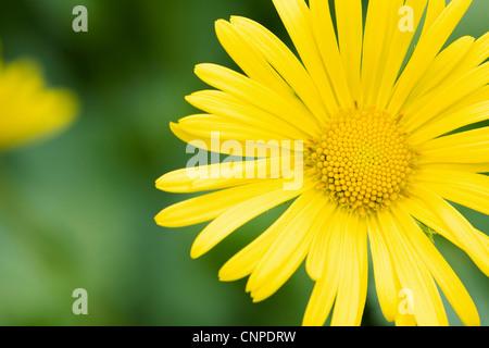 Doronicum orientale flower growing in an English garden. Leopard's bane flower. - Stock Photo