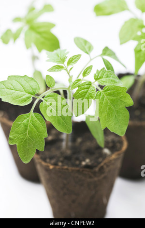 Lycopersicon esculentum. Tomato plants in the early stages of growth. - Stock Photo