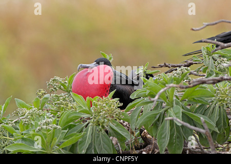 Adult male Great Frigatebird displaying - Stock Photo