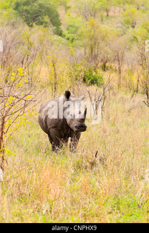 A white rhino in scrub and grassland typical of the Southern region of the Kruger National Park. - Stock Photo