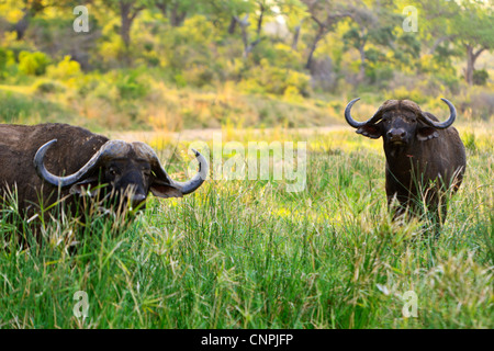 Cape Buffalo 'Syncerus caffer' bulls. These bulls are often referred to as Dagger Boys due to their thick covering - Stock Photo