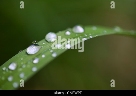 Raindrops on a lily leaf in a garden. - Stock Photo