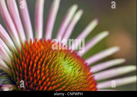 Echinacea Flower in bloom - Stock Photo