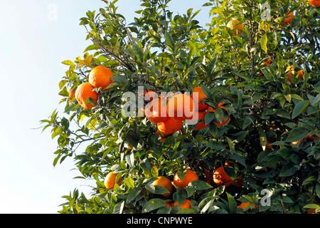 Fresh oranges on a tree, Ischia, Naples, Italy - Stock Photo