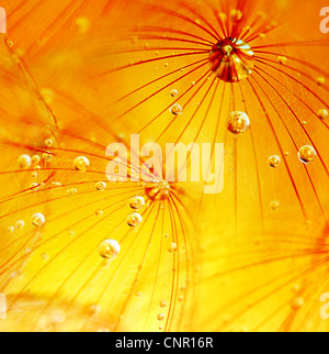 Abstract dandelion flower macro background, extreme closeup with dew drops, soft focus - Stock Photo