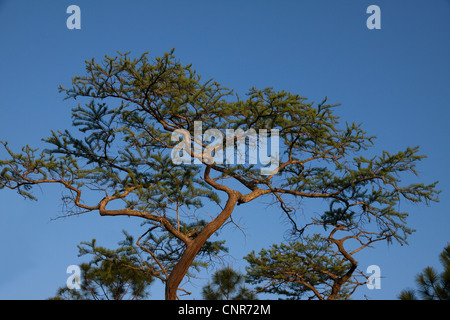 Bald Cypress Tree Taxodium distichum Florida USA - Stock Photo